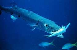 Barakuda besar, Sphyraena barracuda