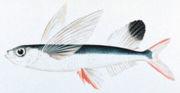 Ikan terbang sirip layar