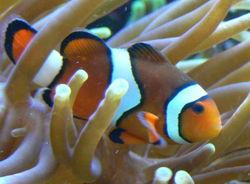 Ikan Klon