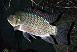 Mujair, Oreochromis mossambicus