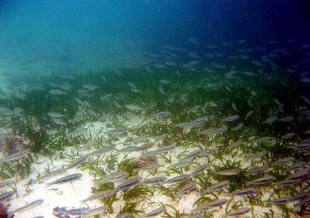 Ikan Atherinomorus sp. bergerombol (schooling) tak jauh dari daerah lamun yang didominasi oleh Cymadocea di Pantai Tanjung Tinggi Belitung Provinsi Kepulauan Bangka Belitung (Des 2008)