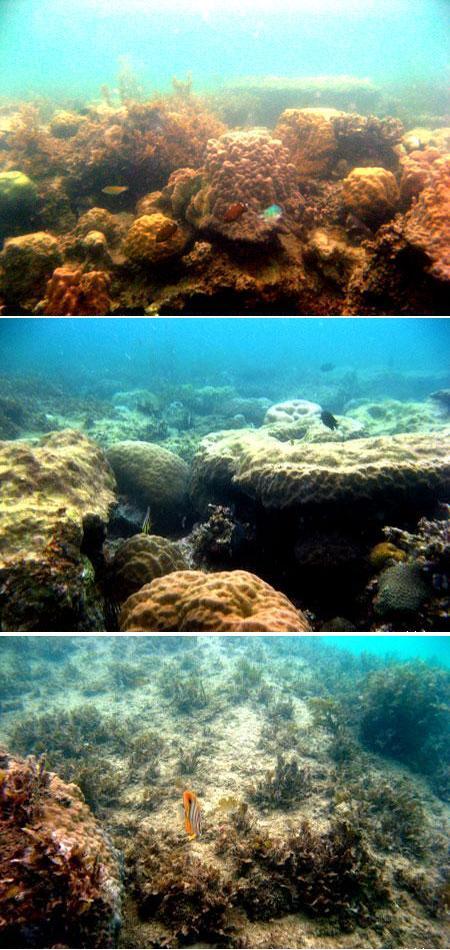 Terumbu Karang yang tertutup mikroalga dan makroalga di Pantai Tanjung Tinggi Belitung Provinsi Kepulauan Bangka Belitung (Des 2008)