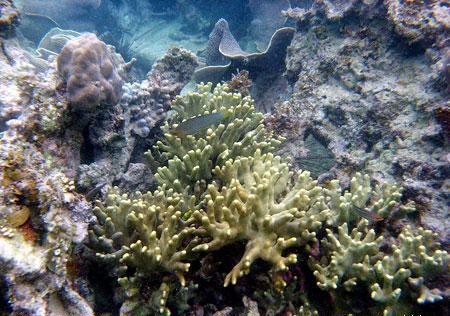 Karang jenis Acropora di Pantai Tanjung Tinggi, Belitung (Des 2008)