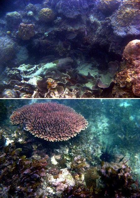 Terumbu karang di Tanjung sebelah barat Pantai Tanjung Tinggi, Belitung  (Des 2008)
