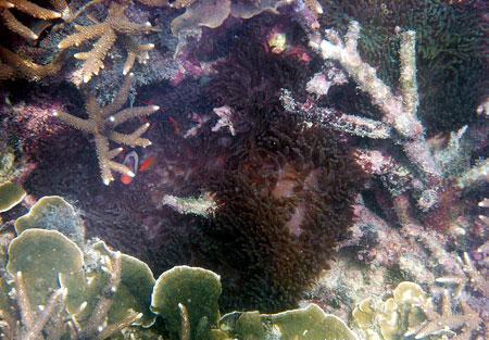 Amphiprion melanopus dan Ocellaris magnifica di kawasan terumbu karang Pantai Rebo Sungailiat Kabupaten Bangka (Des 2008)
