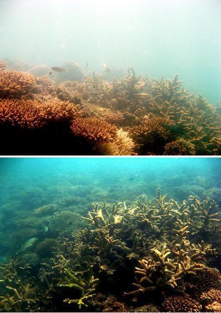 Karang Acropora di Pulau Putri, Bangka (Des 2008)