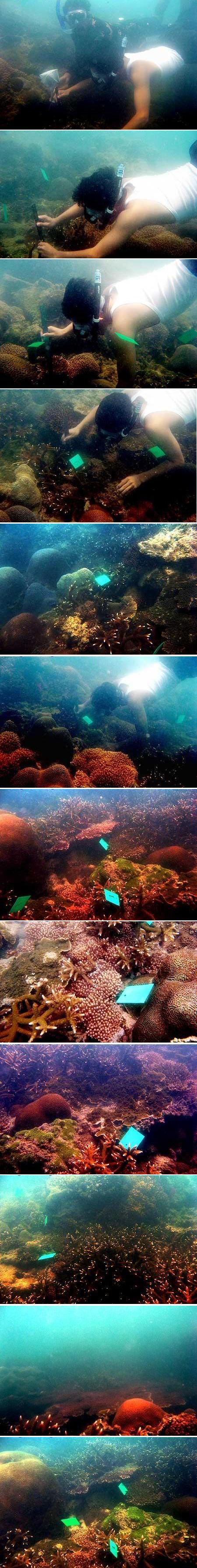 Karang A formosa yang telah dipasang tanda nomor, selanjutnya akan dihitung kembali pada tahun berikutnya. Pengukuran tinggi karang di Batu Putih, Sungailiat, Bangka (Okt 2008)