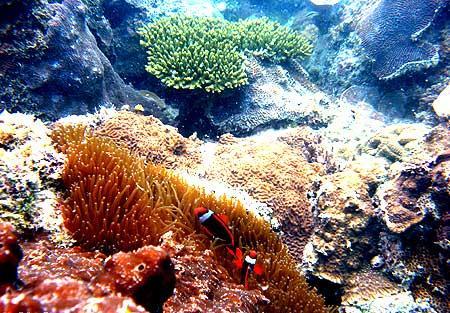 Ikan badut (Amphiprion sp.) di anemone Ocellaris sp. di terumbu karang Pantai Teluk Limau Sungailiat, Bangka