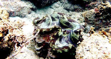 Kerang besar di terumbu karang Pantai Teluk Limau Sungailiat, Bangka