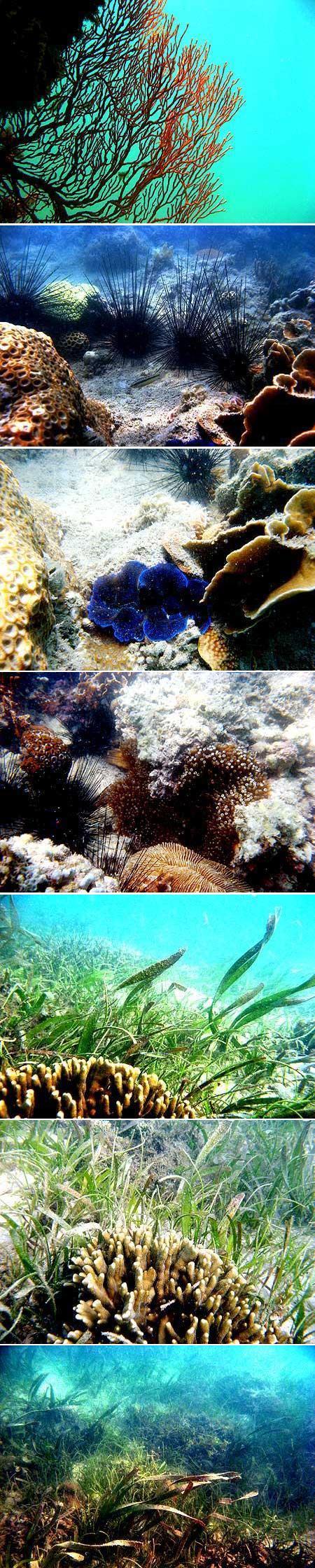 Terumbu karang (coral reef), padang lamun (seagrass bed), bulu babi (diaderma sp.), dan makro alga di pulau Ketawai, Bangka, yang kurang baik
